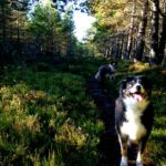 Border Collies Near Aviemore, walk next to Mountain View Lodge and Kirkstone Lodge